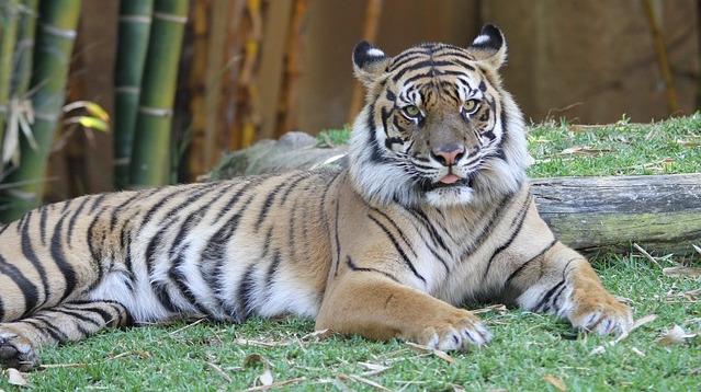 tiger-185723_640