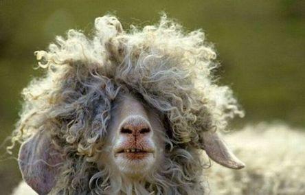 bad_hair_sheep